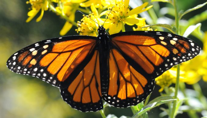 Notable Decrease in Monarch Butterfly Population as 22 Million Don't Make it Through the Season