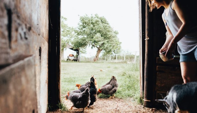 Got Ticks? Chickens Might be the Best Way to Get Rid of Ticks