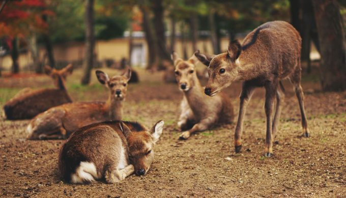 Meet the New Neighbors: How to Deal with Deer in Our Backyards