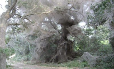 The Giant Spider Web that Swallowed Up Trees in Texas