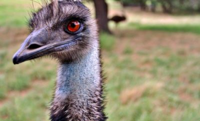 The Next Red Meat: Why the Texas Emu Farming Boom Failed
