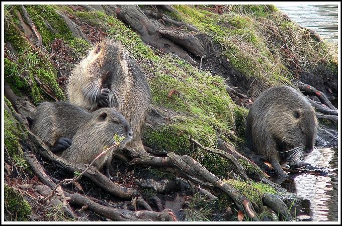 Invasive Species: Nutria family feeding.