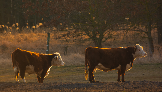 Do Cow Clones Make Better Beef? Putting Theory Into Practice