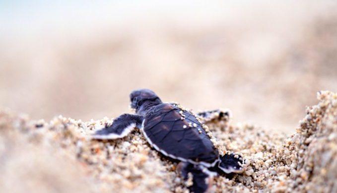 sea turtles, padre island, Texas, natural wonder
