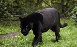 Black Panthers Seen in the Piney Woods: Fact or Fiction?