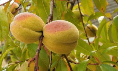 Sweet Success: The Texas Hill Country Peach and The Lone Star Farmers Who Grow It