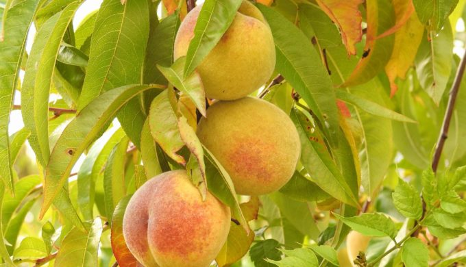peaches-1612553_1920