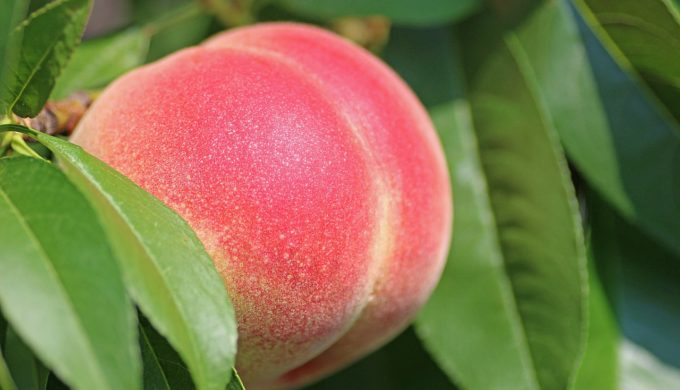 Move Over Georgia, Texas is the King of the Peach!