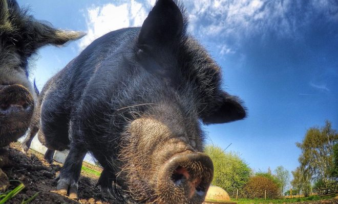 Is Texas Losing the War Against the Wild Hog Population?