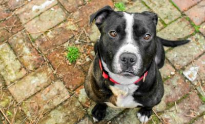 Pitbull mix shelters