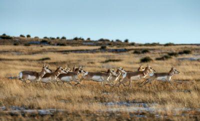 pronghorn Wild Texas