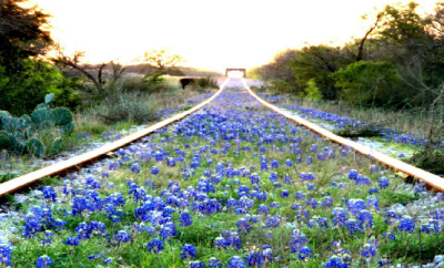 railway bluebonnets