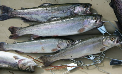 Stuff Your Stocking with Rainbow Trout