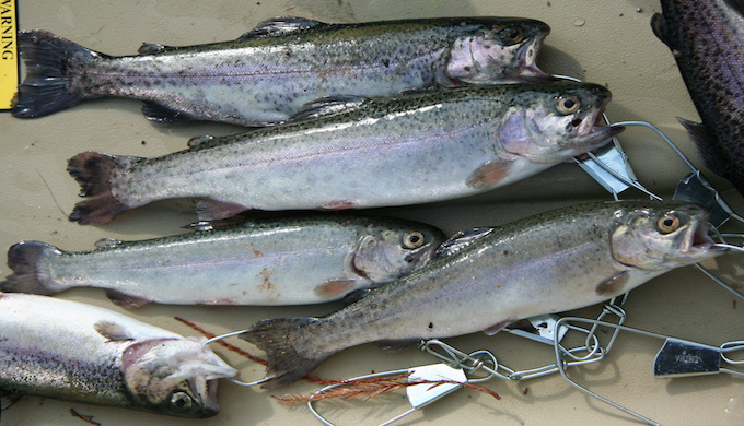 rainbow_trout_on_stringer_blanco_state_park