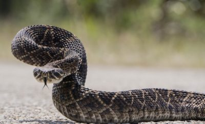 A Primitive Texan Ate a Rattlesnake Whole: The Proof is in the Poop