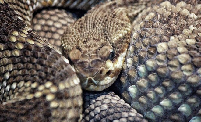 Watch: Video of Rattlesnake Found Up in a Tree in Texas