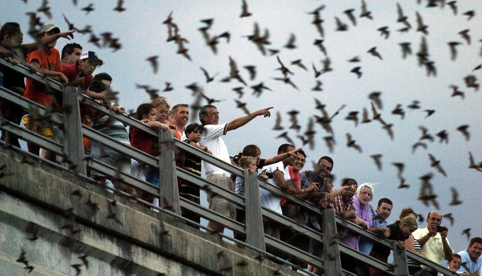 Bats at Congress Avenue Bridge