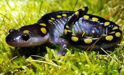 Are Yellow Spotted Salamanders Dangerous to the Touch?