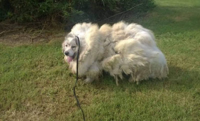 Forgotten Dog Loses 35-Pounds of Hair and Gains a New Life