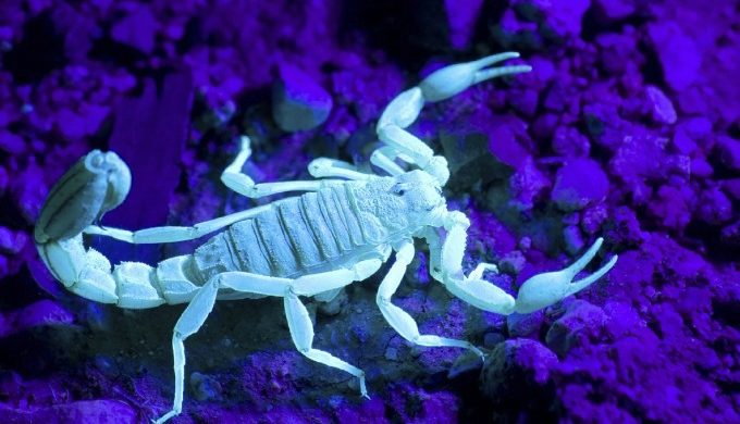 scorpion glowing