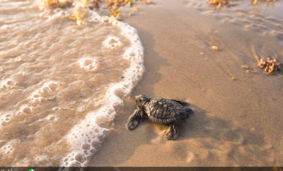 sea turtle sea turtles