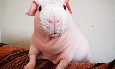 skinny pig