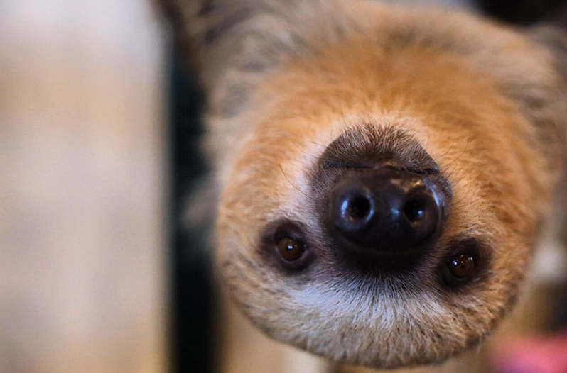 Meet Sandy the rescue sloth, who hangs around at Flower ...
