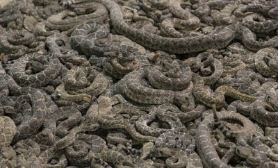 Texas Man Finds Dozens of Rattlesnakes Under his Shed in Viral Video