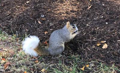 University squirrel