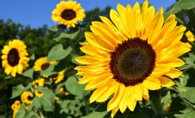 Fields of Gold in Texas: The Boon of the Sunflower