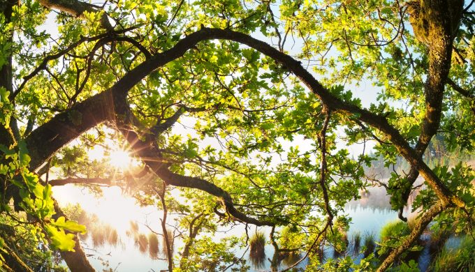 sunlight through oak tree branches in morning