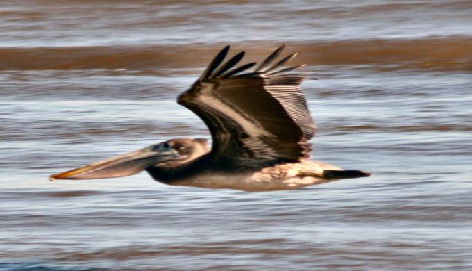 texas-pelican-1386250-1279x935
