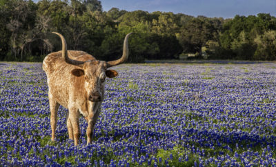 2017 Bluebonnet Season