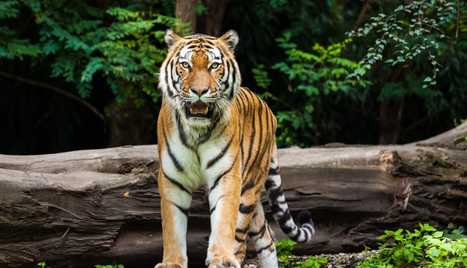 Does Texas Have Its Own Tiger King? More Tigers in Texas Than the Wild