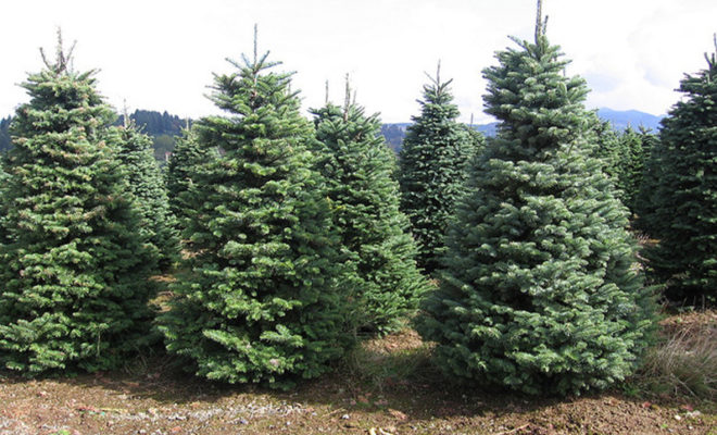 Bugs In Christmas Trees.Experts Say To Check Your Christmas Tree For Bugs