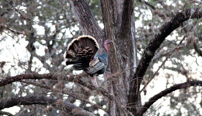 turkey in tree