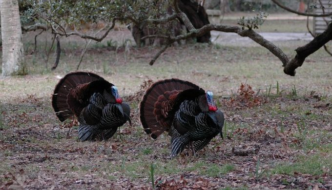 turkeys under tree