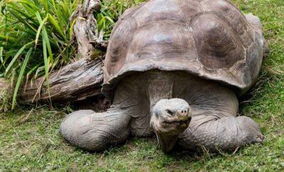 Giant Galapagos Tortoise Returns Home to Dallas Zoo Following 16-Month Treatment