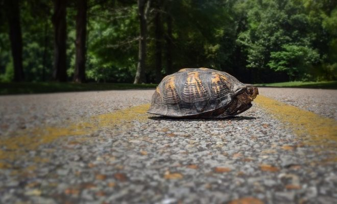 What Not To Do When Helping a Turtle Cross the Road