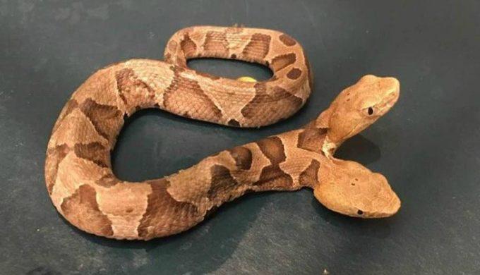 two-headed copperhead