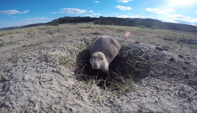Lubbock's Protected Prairie Dogs Delight Visitors at Prairie Dog Town