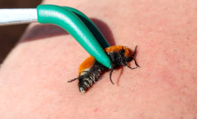 Man Gets Stung by a Texas Velvet Ant or 'Cow Killer' on Purpose