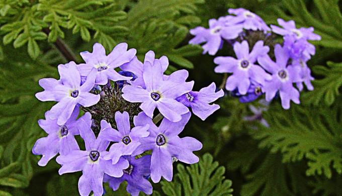 roadside wildflowers - verbena