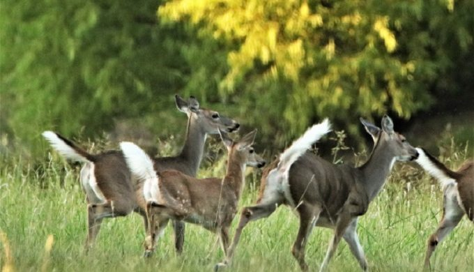 Whitetail Deer Having Red-Letter Year in the Lone Star State