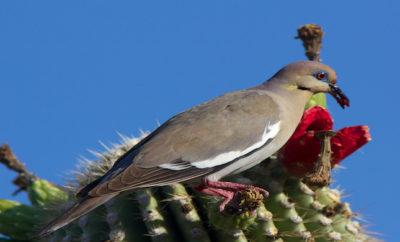 Texas Dove Hunting Season in Full Swing
