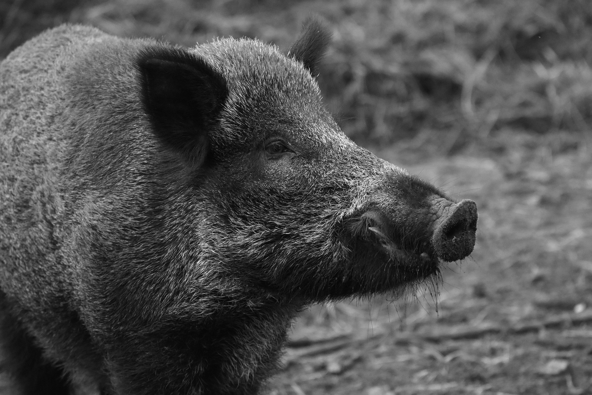 wild-boar-1797731_1920