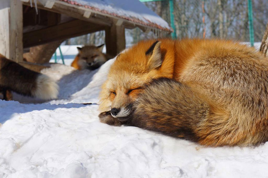 This Village Populated By Foxes Is The Cutest Place Ever