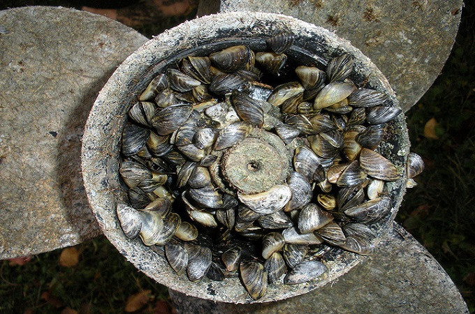 Invasive Species: Zebra Mussels on a propeller wheel.
